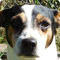 Jack Russell Terrier Dog for adoption in MINNEAPOLIS, Kansas - Sparky
