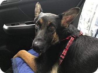 Shepherd (Unknown Type) Dog for adoption in Seattle, Washington - Brittany - The Kind Beauty