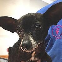 Chihuahua Dog for adoption in Mount Airy, North Carolina - Nila