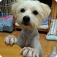 Maltese Mix Dog for adoption in Seattle, Washington - Dolly Yenchi