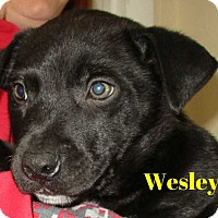 Border Collie Mix Puppy for adoption in Clear Lake, Iowa - Wesley