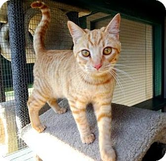 Domestic Shorthair Cat for adoption in Lathrop, California - Rocket