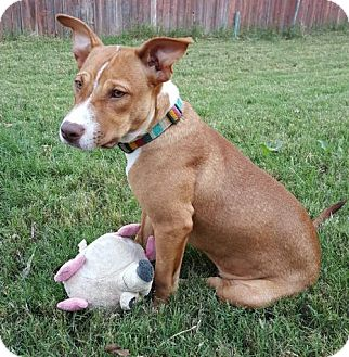Terrier (Unknown Type, Medium) Mix Puppy for adoption in Euless, Texas - Lorri