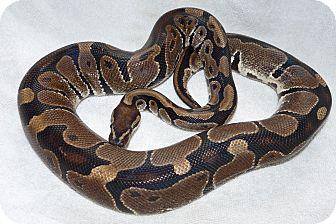 Snake for adoption in Richmond, British Columbia - Maya