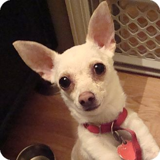 Chihuahua Dog for adoption in Romeoville, Illinois - Charlie Bear