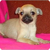 Adopt A Pet :: Haley - Allentown, PA