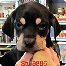 Adopt A Pet :: Stu