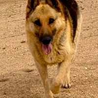German Shepherd Dog Dog for adoption in Lancaster, California - Lady