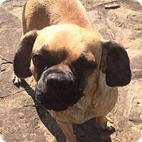 Adopt A Pet :: Georgia in CT - Manchester, CT