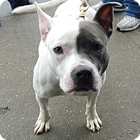 Pit Bull Terrier Mix Dog for adoption in Bronx, New York - Star