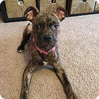 Adopt A Pet :: Nutmeg - Villa Park, IL