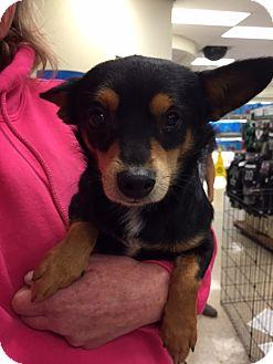 Miniature Pinscher Mix Dog for adoption in Fresno, California - Mario