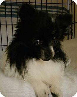 Pomeranian/Chihuahua Mix Dog for adoption in Harrisburg, Pennsylvania - Chloe