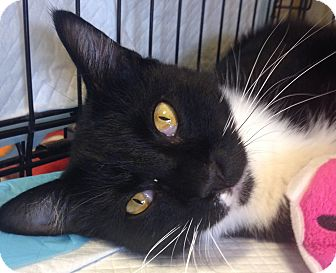 Domestic Shorthair Cat for adoption in Houston, Texas - Boo Boo