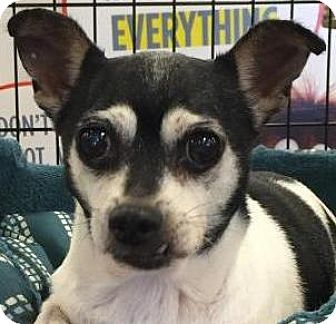 Chihuahua/Rat Terrier Mix Dog for adoption in Orlando, Florida - Marigold