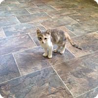 Calico Kitten for adoption in Harrisville, West Virginia - Parvati