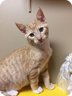 Domestic Shorthair Kitten for adoption in Maryville, Missouri - Milo