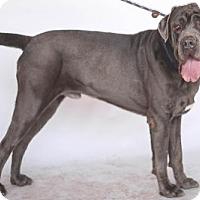 Adopt A Pet :: Ceaser - Goodyear, AZ