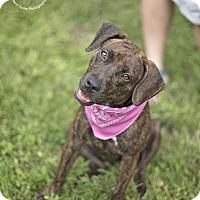 Adopt A Pet :: HoneyBun - Boston, MA