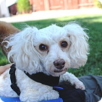 Miniature Poodle/Maltese Mix Dog for adoption in Fullerton, California - Quinn