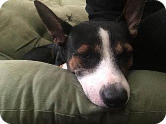 Basenji Mix Dog for adoption in Plant City, Florida - Cane