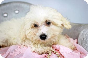 Toy Poodle/Bichon Frise Mix Puppy for adoption in St. Louis Park, Minnesota - Willow-NO LONGER ACCEPTING APPLICATIONS