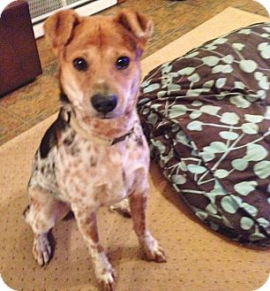 Australian Cattle Dog Mix Dog for adoption in Bergheim, Texas - Doug