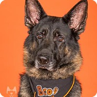 German Shepherd Dog Mix Dog for adoption in Northbrook, Illinois - Mr. Rex