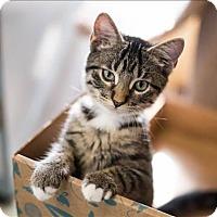 Domestic Shorthair Cat for adoption in Huntsville, Alabama - Gabby