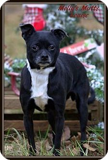 Boston Terrier/Chihuahua Mix Dog for adoption in Dixon, Kentucky - Louise