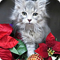 Adopt A Pet :: POGO - Special Kitten - Arlington, VA