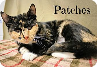 Abyssinian Cat for adoption in Taylor Mill, Kentucky - Patches-Young, Blind, Adorable