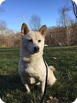 Shiba Inu Dog for adoption in New Milford, Connecticut - Serenity