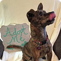 Chihuahua/Pug Mix Dog for adoption in Nashville, Tennessee - Ziggy Stardust
