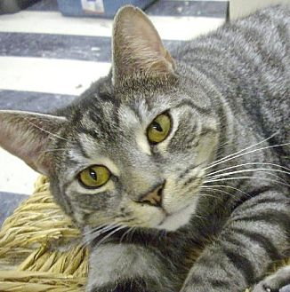 Domestic Shorthair Cat for adoption in Montreal, Quebec - Cassey