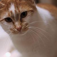 Adopt A Pet :: Butterscotch - Elkton, MD