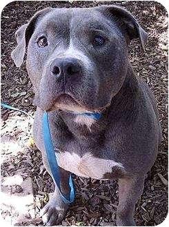 dwight adopted dog santa barbara ca bullmastiffpit