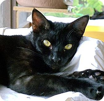 Domestic Shorthair Cat for adoption in Palm City, Florida - Trevor