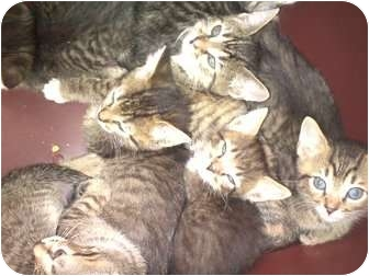 Domestic Shorthair Kitten for adoption in Harrisburg, North Carolina - Heidi's kittens