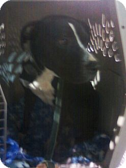 Boxer/Pit Bull Terrier Mix Dog for adoption in North, Virginia - Oreo