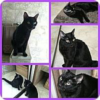 Domestic Shorthair Cat for adoption in Scottsdale, Arizona - Mitzi