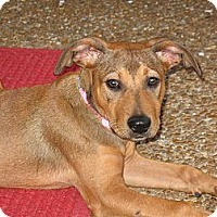 Adopt A Pet :: Belle - Harrisburgh, PA