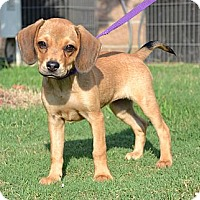 Adopt A Pet :: *Daisy Duke - PENDING - Westport, CT