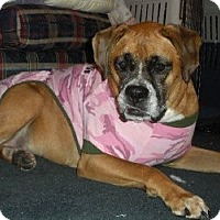 Adopt A Pet :: Marla - The Love Bug - Grafton, MA
