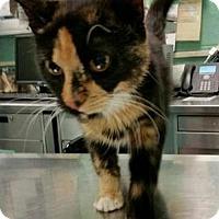 Adopt A Pet :: Lolita - Hudson, NY