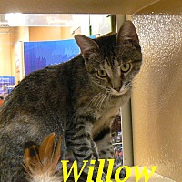 Adopt A Pet :: Willow - League City, TX
