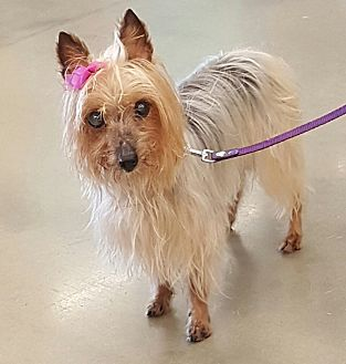 Silky Terrier Mix Dog for adoption in Summerville, South Carolina - Isabelle