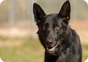 German Shepherd Dog Dog for adoption in Colorado Springs, Colorado - Onyx