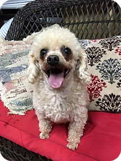 Toy Poodle Dog for adoption in Spartanburg, South Carolina - Champagne