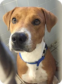 Labrador Retriever/Hound (Unknown Type) Mix Dog for adoption in Livonia, Michigan - Peter the Great
